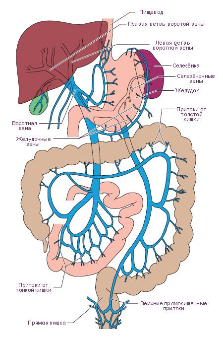 Физиология человека: Литература.  Иллюстрации.  Схема.  Система воротной вены.  Модификация: Faller A., Schuenke M...